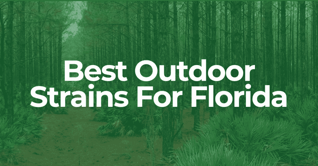 best outdoor strains for Florida