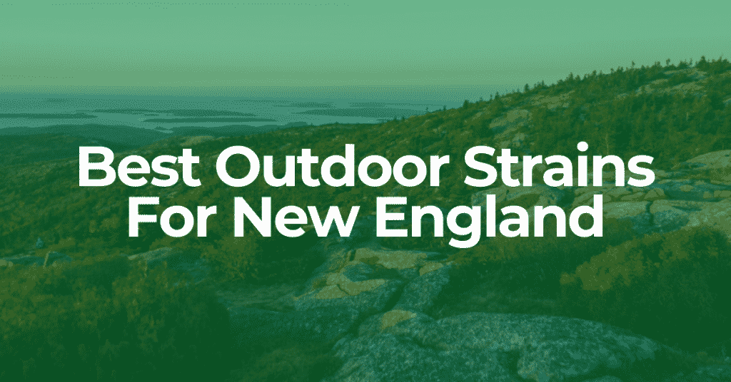 best outdoor strains for new england