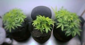 best yielding indoor strains