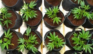 best nutrients for growing cannabis indoors