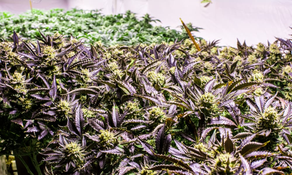 best strains to grow indoors