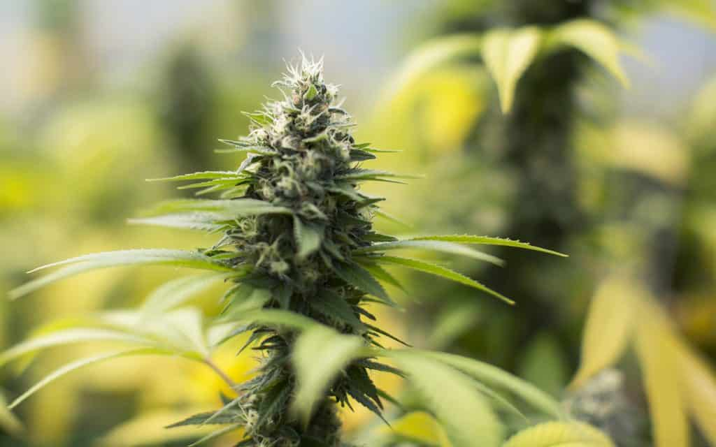 how to grow sour diesel